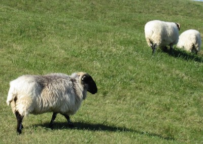 Whistling Straits - Straits Course Hole 15 Grand Strand Sheep Leaving