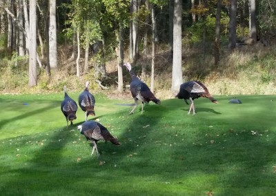 University Ridge Golf Course Hole 10 Tee - Turkeys