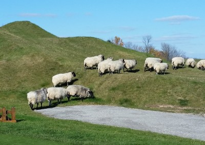 Whistling Straits - Straits Course Hole 15 Grand Strand Sheep Grazing