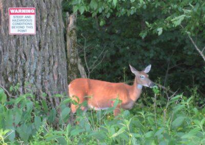 Wild Rock Golf Club Deer